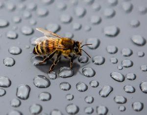 Erster Besucher am Ankunftstag: Handelsübliche Honigbiene . Maja labt sich an den Regentropfen